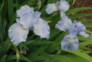Anadama Bread and Iris flowers 035
