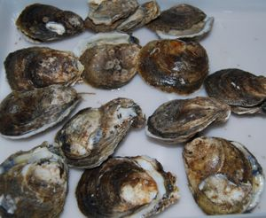 Whisk oysters 010