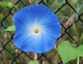 CEiMB cx wrap and blue morning glory 020